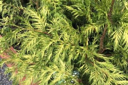 Hiigelelupuu ´Zebirna´ (Thuja Plicata)