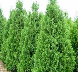 Harilik elupuu ´Spiralis´ (Thuja occidentalis)