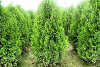 Harilik elupuu ´Brabant´ (Thuja occidentalis)