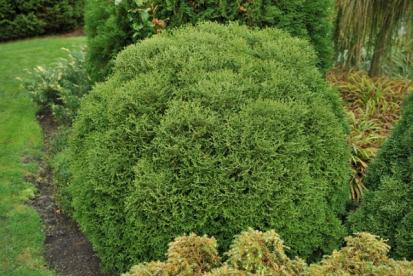 Thuja occidentalis ´Salaspils´ - harilik elupuu