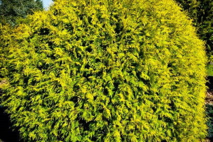 Harilik elupuu ´Golden Globe´ (Thuja occidentalis)
