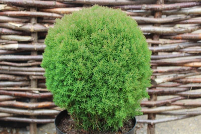 Harilik elupuu ´Teddy´ (Thuja occidentalis)