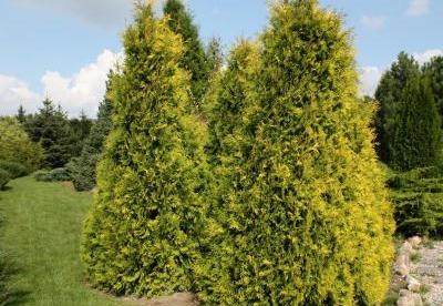Harilik elupuu ´Sunkist´ (Thuja occidentalis)