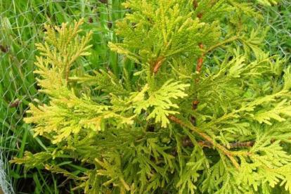Hiibapuu ´Aurea´ (Thujopsis dolabrata)