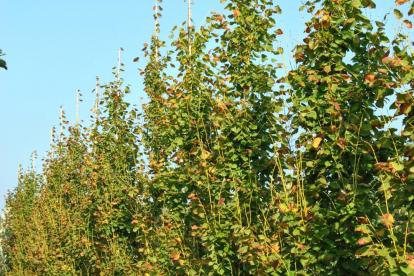 Harilik pärn ´Pyramidalis Aurea´ (Tilia cordata)