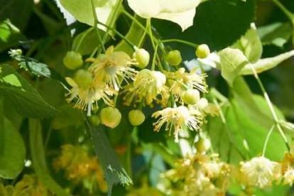 Harilik pärn (Tilia cordata)