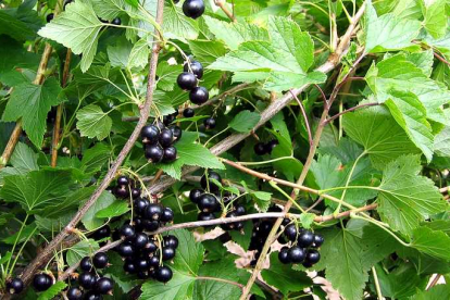 Must sõstar ´Varmas´ (Ribes nigrum)