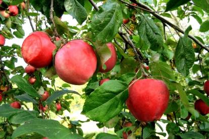 Õunapuu ´Veinõun´ (Malus)