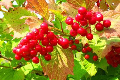 Harilik lodjapuu ´Kievskaja Sadovaja´ (Viburnum opullus)