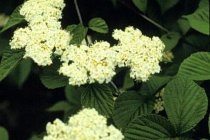 Wrighti lodjapuu (Viburnum wrightii)
