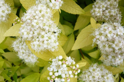 Jaapani enelas ´White Gold´ (Spiraea japonica)
