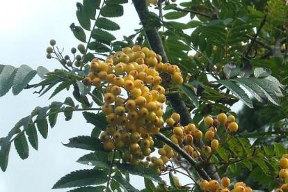 Harilik pihlakas ´Xantocarpa´ (Sorbus aucuparia)