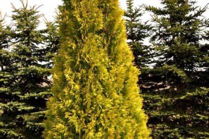 Harilik elupuu ´Yellow Ribbon` (Thuja occidentalis)