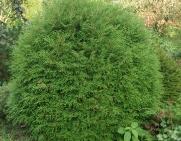 Harilik elupuu ´Little Champion´ - (Thuja) - 10 aastaga kasvanud 1,5 m kera