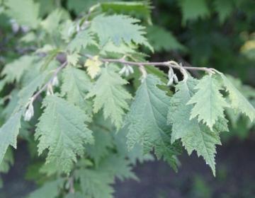 Sarapuu ´Hemerocallis´ (Corylus)