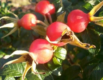 Kurdlehelise kibuvitsa viljad sügisel