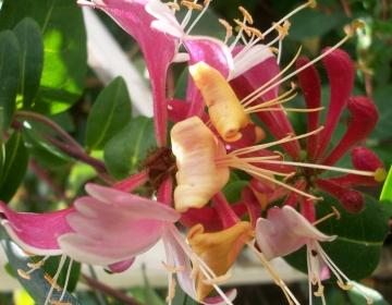 Heckordi kuslapuu õis (Lonicera)