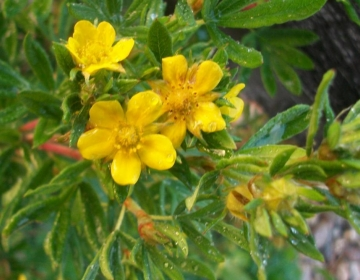 Põõsasmaran ´Golden Arrol´ (Potentilla)