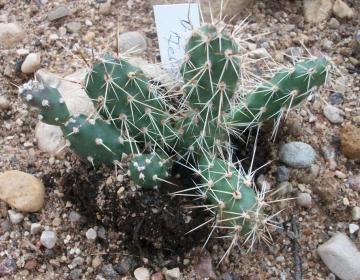 Kaktus (Opuntia fragilis) - taluvad väljas kuni -30 kraadi külma