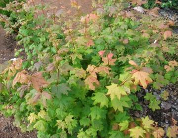Acer japonicum (Jaapani vaher)