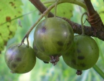 rohelise viljaga must sõstar ´Vertti´