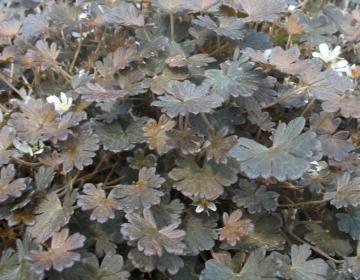 Pruunileheline kurereha - madal kiviktaimla taim