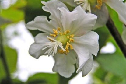 Südajas aktiniidia (Actinidia kolomicta) - emane