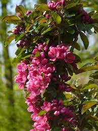 Sammasõunapuu ´Apollo´ (Malus)