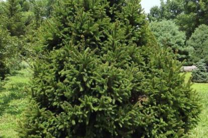 Harilik kuusk ´Barryl´ (Picea abies)  - Ainult tellimisel