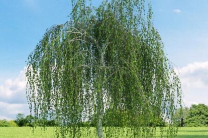 Arukask ´Youngii´ (Betula pendula)