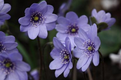 Transilvaania sinilill ´Blue Jewel´ (Hepatica transilcanica)