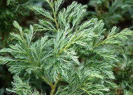 Mägi-ebaküpress ´Buoleward´ (Chamaecyparis pisifera)