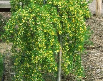 Leinaläätspuu ´Pendula´(Caragana arbosescens)