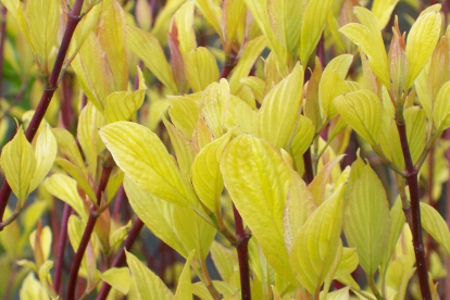 Siberi kontpuu ´Aurea´ (Cornus alba)