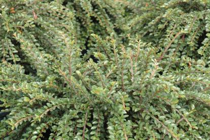Liibuv tuhkpuu ´Little Gem´ (Cotoneaster)