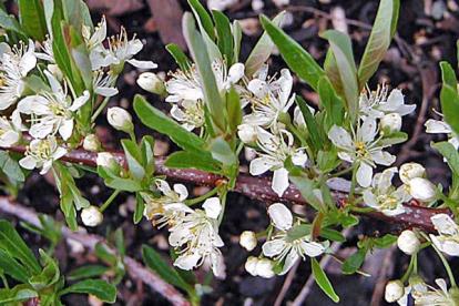 Roomav kirsipuu (Prunus pumila var. depressa)