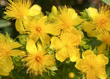 Kalmi naistepuna (Hypericum kalmianum)