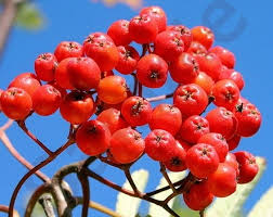 Perepihlakas: Sorbus ´Sorbinka´ ja  Kanada toompihlakas (Amelanchier canadensis)