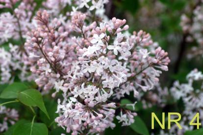 Harilik sirel ´NR-4´ (Syringa vulgaris)