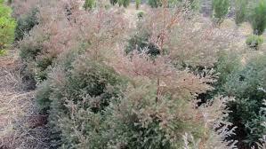 Harilik elupuu ´Ericoides´ (Thuja occidentalis)