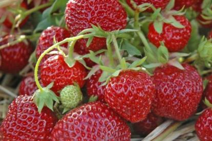 Aedmaasikas ´Senga Sengana´ (Fragaria ananassa)
