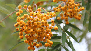 Pihlakas ´Golden Wonder´ (Sorbus)