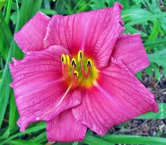 Aed-päevaliilia ´Summerwine´ (Hemerocallis)