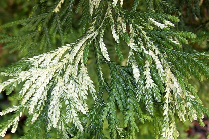 Hiibapuu ´Variegata´ (Thujopsis dolabrata)
