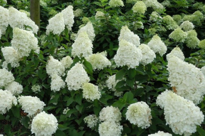 Aedhortensia ´Polar Bear´ (Hydrangea paniculata)
