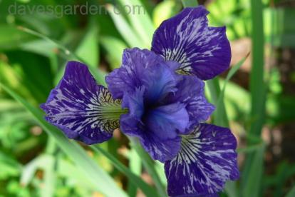 Siberi võhumõõk ´Neat Trick´ (Iris sibirica)