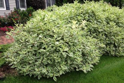 Siberi kontpuu ´Ivary Halo´ (Cornus sibirica)