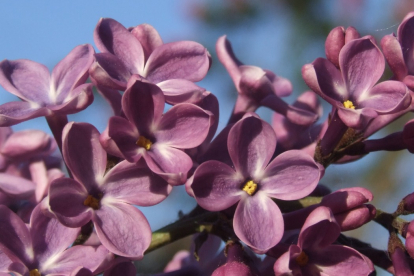Sirel ´Jaunkalsnavas Nakts´ (Syringa vulgaris)
