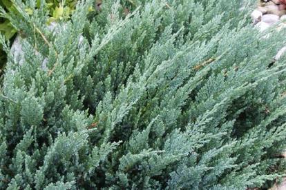 Roomav kadakas ´Blue Moon´ (Juniperus horizontalis)