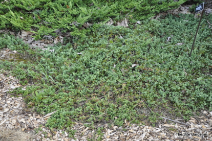 Roomav kadakas ´Venusta´ (Juniperus horizontalis)